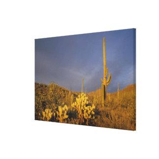 saguaro cacti, Carnegiea gigantea, and teddy Stretched Canvas Print