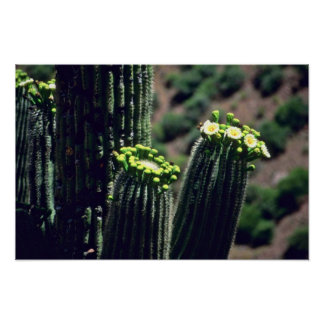 Saguaro Cactus Bouquet flowers Poster