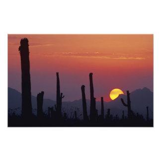 Saguaro Cactus Carnegiea gigantea), Sunset, Photograph