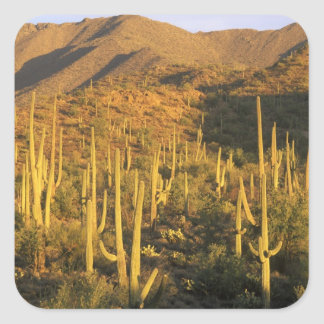 Saguaro cactus in Saguaro National Park near Square Sticker