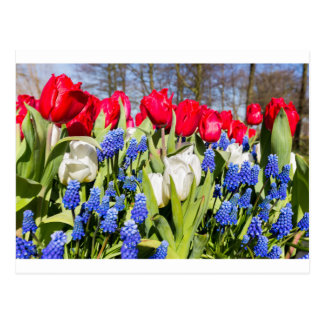 Saison bleue blanche rouge de fleurs au printemps cartes postales