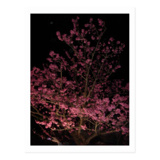 Sakura Blossoms at night Postcard
