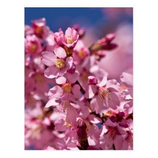 Sakura Cherry Blossoms Kissed by Sunlight Postcard