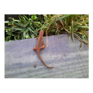 Salamander Postcard