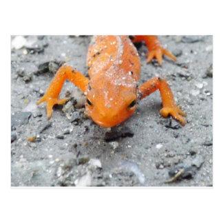 Salamander Up Close Post Card