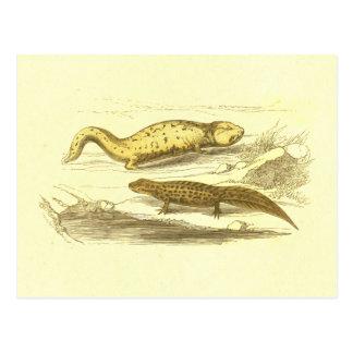 Salamander & Water Eft Vintage Lithograph Postcard