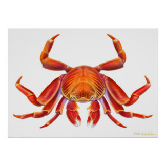 Sally Lightfoot Crab Poster
