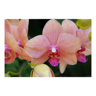 Salmon Orchids Poster