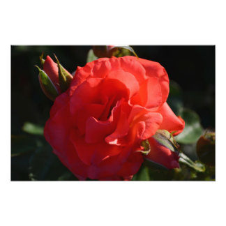 Salmon Rose at Dawn photo print