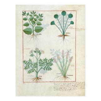 Salt Bush and Anthora Absinthium and Cardamom Postcard