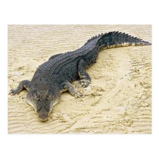Salt water crocodile (Crocodylus porosus) Postcard