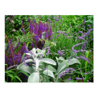 Salvia, Lavendar, Lambs ear Postcards