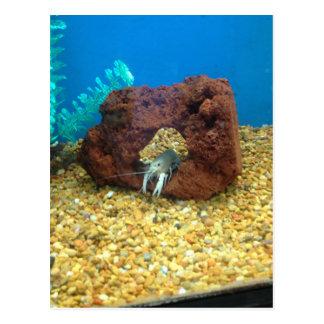Sam the blue lobster crayfish postcard