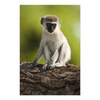 Samburu Game Reserve, Kenya, Vervet Monkey, Photograph