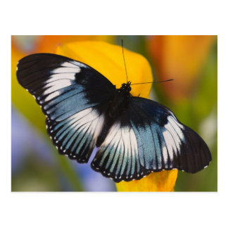 Sammamish, Washington. Tropical Butterflies 61 Postcard