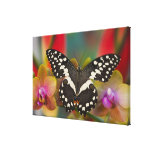 Sammamish, Washington Tropical Butterfly 15 Canvas Print