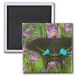 Sammamish, Washington Tropical Butterfly 15 Square Magnet