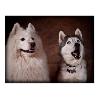 Samoyed and Husky Postcard