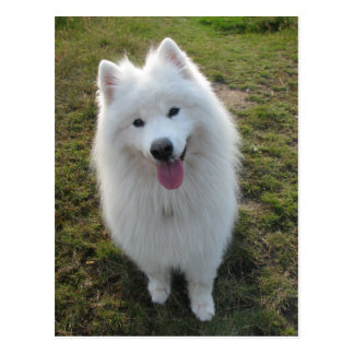 Samoyed dog beautiful photo postcard