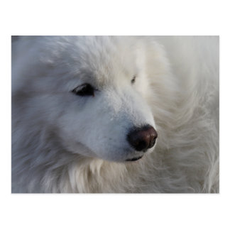 Samoyed Dog Postcard
