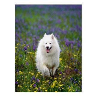 Samoyed Dog Postcard
