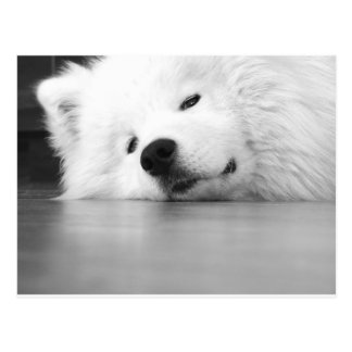 Samoyed Photo Dog White Postcard