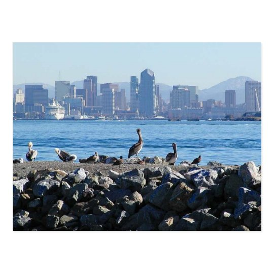 San Diego Pelicans Birds City Skyline Water Postcard