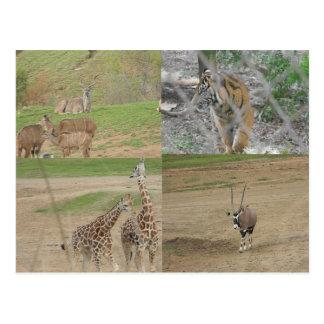San Diego Safari Park Postcard
