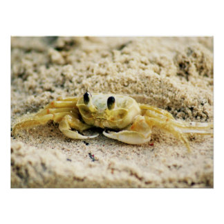 Sand Crab, Curacao, Caribbean islands, 24x18 Photo Poster