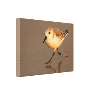 sand piper canvas print