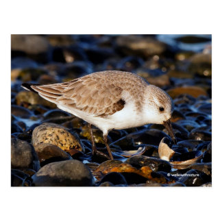 Sanderling Dining on Clam Postcard