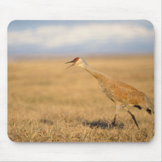 sandhill crane, Grus canadensis, walking in the Mouse Pad