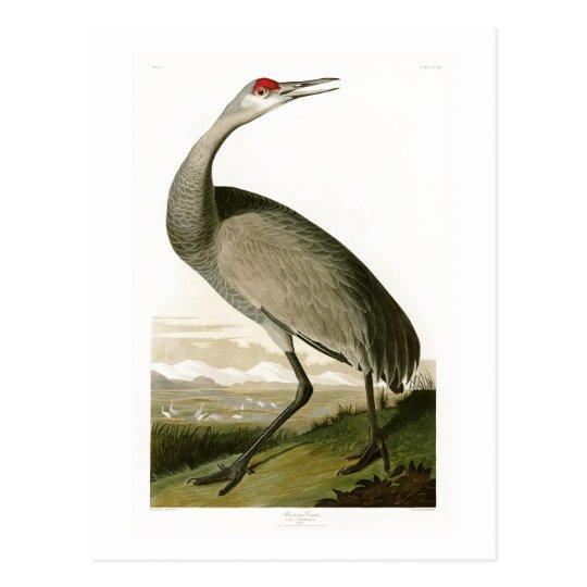 Sandhill Crane John James Audubon Birds of America Postcard