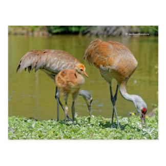 Sandhill Crane Parents and Chick Postcard