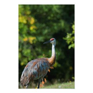 SandHill crane Photo Print
