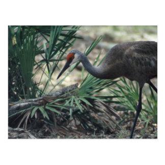 Sandhill Crane Postcard