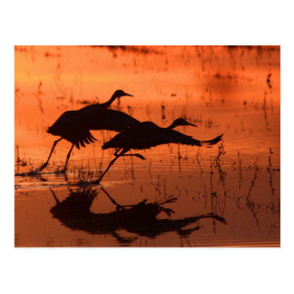 Sandhill Crane Sunset Postcard