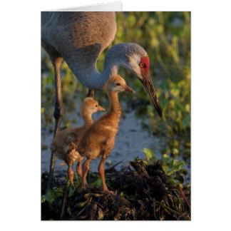 Sandhill crane with chicks, Florida Card