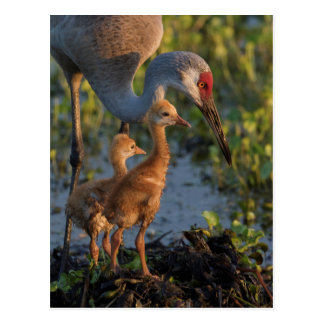 Sandhill crane with chicks, Florida Postcard
