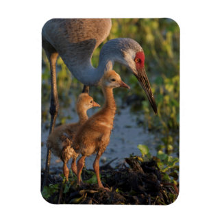 Sandhill crane with chicks, Florida Rectangular Photo Magnet