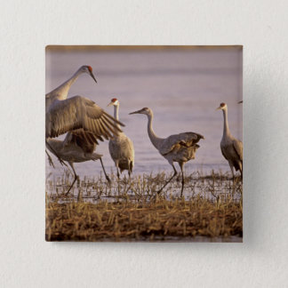 Sandhill Cranes Grus canadensis) Platte 2 Inch Square Button