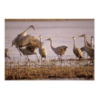 Sandhill Cranes Grus canadensis) Platte 2 Photograph