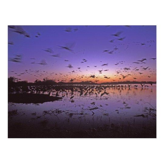 Sandhill Cranes Grus canadensis) Platte 2 Postcard