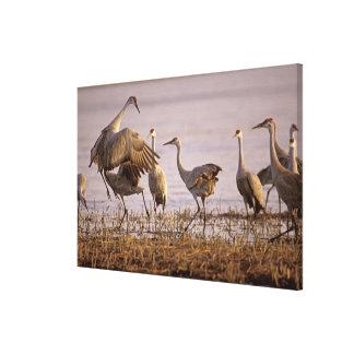 Sandhill Cranes Grus canadensis) Platte Gallery Wrapped Canvas