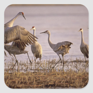 Sandhill Cranes Grus canadensis) Platte Square Sticker
