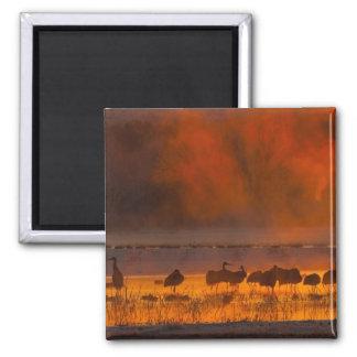 Sandhill cranes in sunrise fog 2 magnet