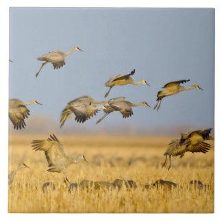 Sandhill cranes land in corn fields ceramic tiles