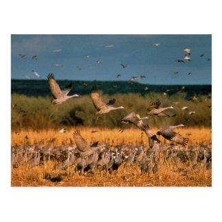 Sandhill Cranes Postcard