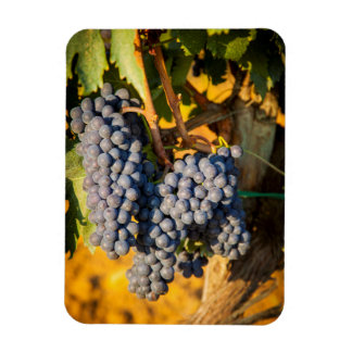 Sangiovese grapes in a vineyard rectangular photo magnet