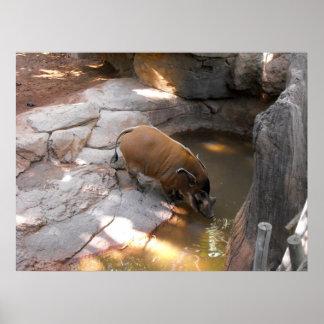 Sanglier au zoo de Fuengirola Posters